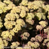 Sedum t Citrus Twist
