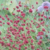 Sanguisorba officinalis Red Thunder