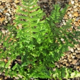 Dryopteris affinis Cristata The King